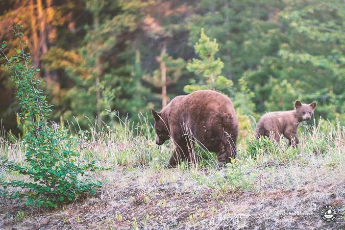 Bären Alaska