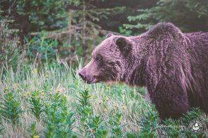 5 Tipps zum Beobachten von Bären in Kanada, USA und Alaska