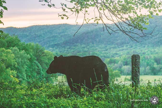 Bären USA