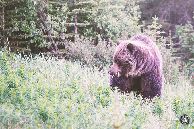 Bären Winterschlaf