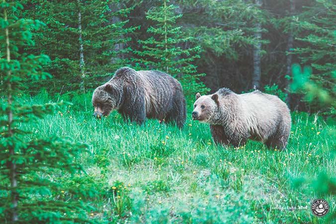 Bären Familie