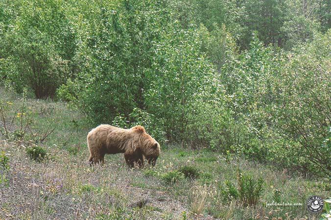 Grizzly-Bären Beobachten