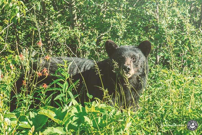 Bärenbeobachtung Schwarzbär
