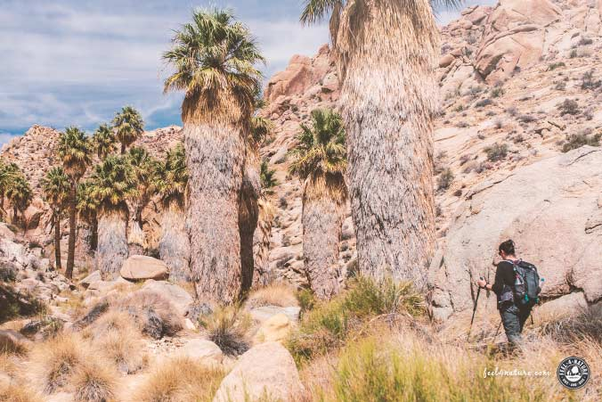 Wandern Lost Palms Oasis