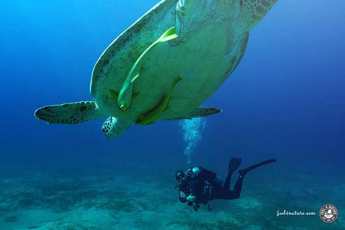 Abu Dabab Meeresschildkröte