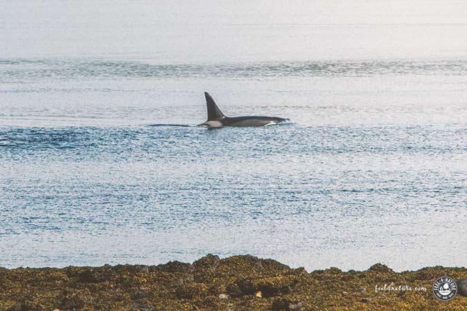 Tauchen Orcas Norwegen