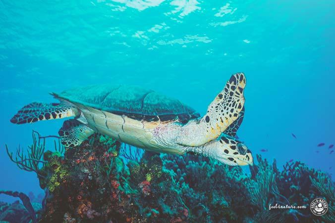 Playa del Carmen Tauchen Schildkröten