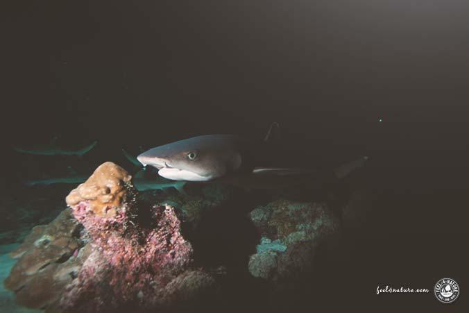 Nachttauchen Cocos Island