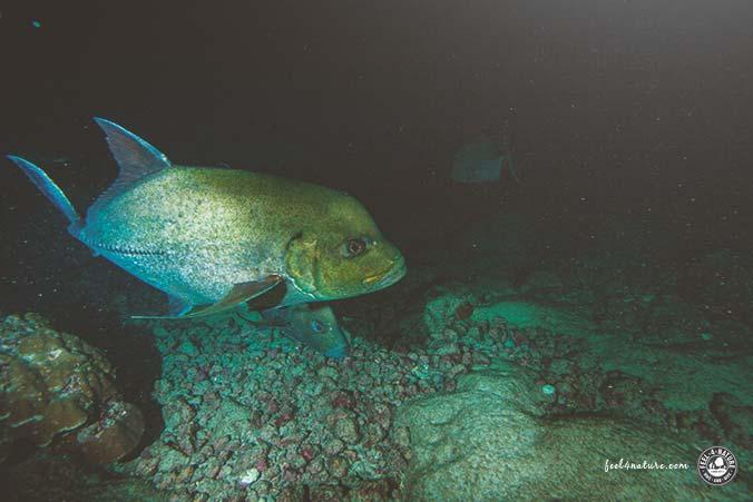 Nachttauchgang Makrelen