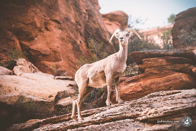 Zion Nationalpark Wandern Dickhornschafe